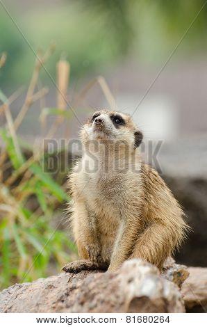 Meerkat In Thailand