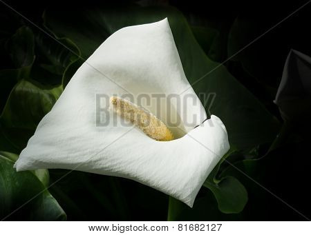 Single White Calla Lily