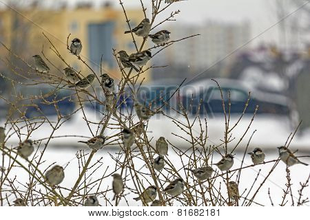 Group Of Sparrows On Naked Leafless Branch