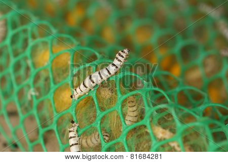 Close Up Of Silkworm
