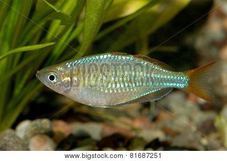 Melanotaenia Fish