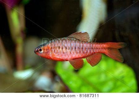 Puntius Fish
