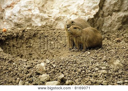 Couple Of Black-tailed Prairie Dogs Near Their Hole In The Ground