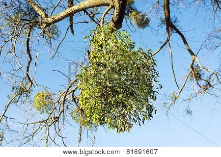 Mistletoe Growing On Tree