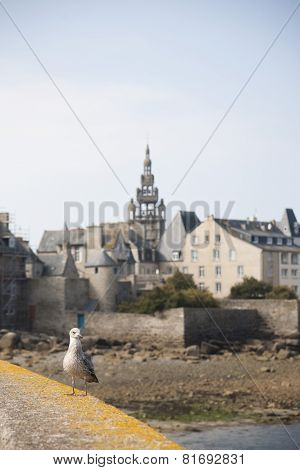 sea gull in Roscoff