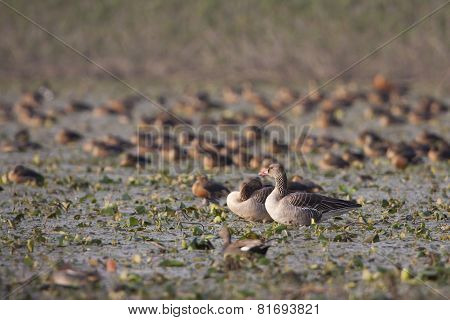 greylag gooses at Badaya Lake, Nepal