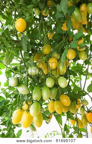 yellow cluster Tomato