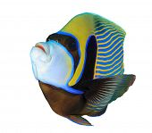 picture of angelfish  - Tropical fish isolated - JPG
