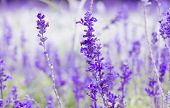 stock photo of white purple  - Beautiful spring background with Salvia farinacea Benth - JPG