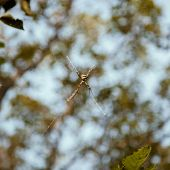 picture of non-toxic  - Close up of large size Argiope argentata spider - JPG