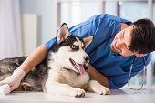 pic of husky  - Veterinarian is examining a cute siberian husky at hospital - JPG