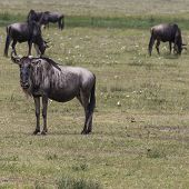 stock photo of wildebeest  - A Wildebeest mother and newly born calf Ngorongoro Crater Tanzania. ** Note: Visible grain at 100%, best at smaller sizes - JPG