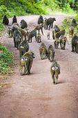 picture of ape  - Apes walking together in nature daytime in Tanzania Africa - JPG