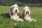 image of collie  - Two amazing bearded collies lying in the grass in later summer - JPG