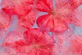 stock photo of geranium  - frozen flora  - JPG