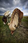 stock photo of horses eating  - Two horses are eating grass, in Iceland.