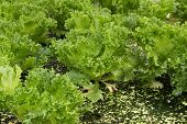 pic of hydroponics  - green oak cultivation hydroponics green vegetable in farm - JPG