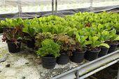 pic of butter-lettuce  - fresh butter head and green oak is grown in pot - JPG