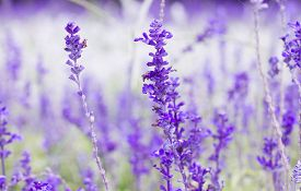image of wildflowers  - Beautiful spring background with Salvia farinacea Benth - JPG