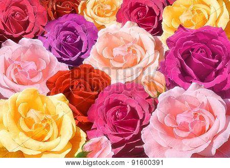 Multicolored Roses Closeup