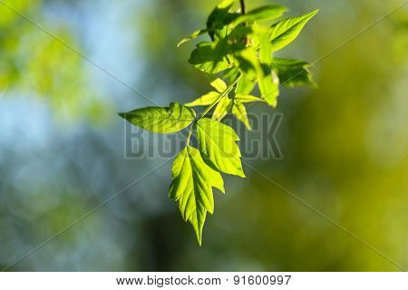 Green leaves background in sunny day. Shallow depth of field.