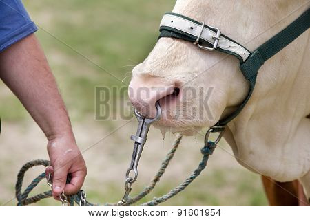 Simmental Ox On Leash