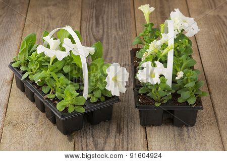 Two plastic flowerpots with white petunia seedlings on the aged wooden table.