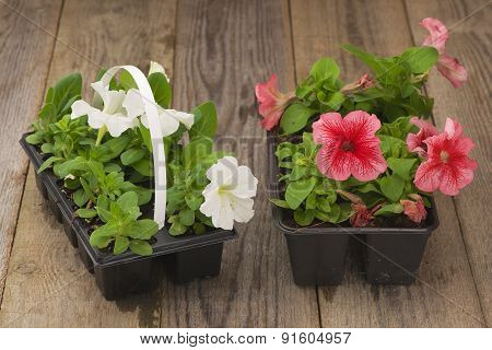 Two plastic flowerpots with white and pink petunia seedlings on the aged wooden table.