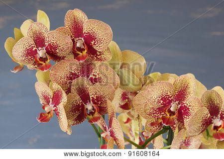 Phalaenopsis yellow and red orchid flowers against blue blurred background.