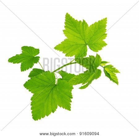 Green Currant Leaves Isolated.