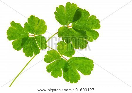 Green Leaves Isolated .