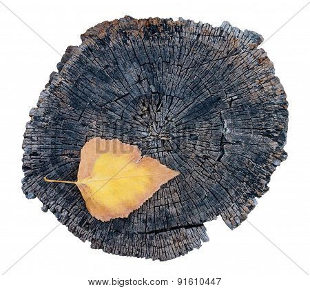 Single Colorful Leaf And Old Tree Stump. Isolated On White