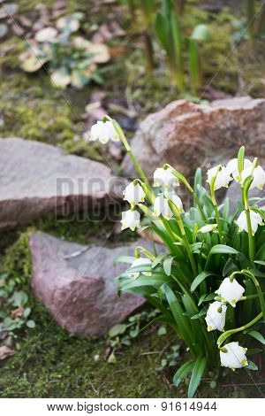 Snowdrops - First Spring Flowers