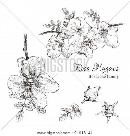 Rosa Hugonis ink sketch.