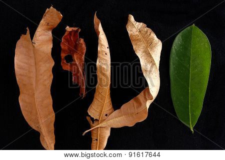 Fresh leaf among dried and dead leaves