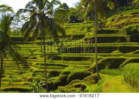 Tegalalang rice terrace. Bali