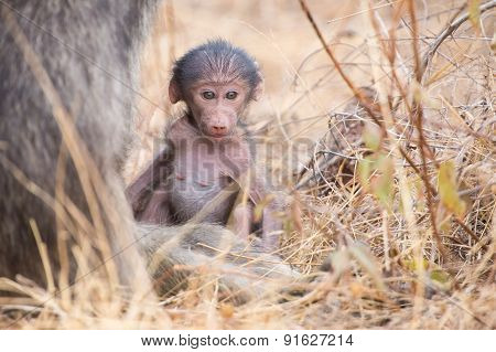 Baby Baboon Close To Mother In Grass For Safety