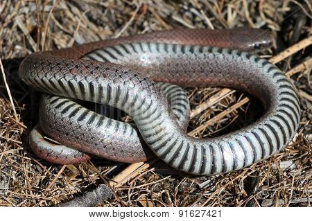 Sharp-tailed Snake Underside
