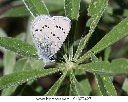 Silvery Blue Butterfly on a Lupine Leaf