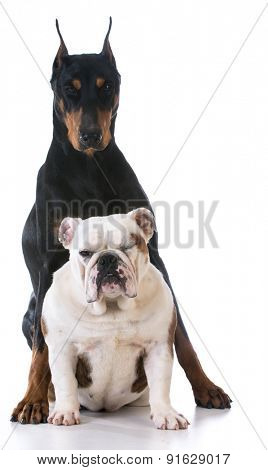 two dog - bulldog looking up at doberman on white background