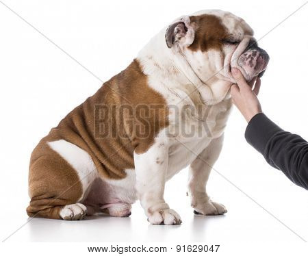 dog and human bond - english bulldog with owners hand on chin on white background
