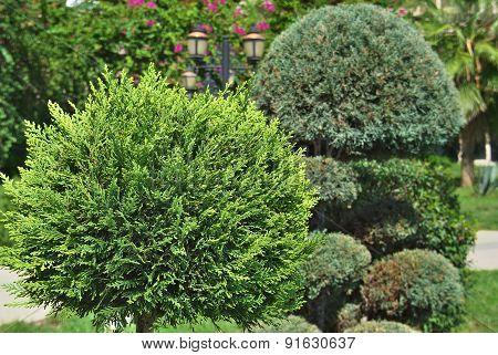 beautiful green cypress