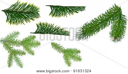 illustration with green coniferous branches isolated on white background