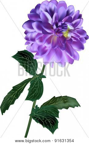illustration with lilac dahlia isolated on white background