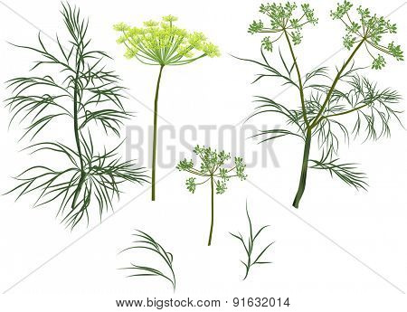 illustration with green dill plants isolated on white background