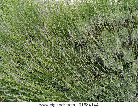 Blooming lavender near Pirovac