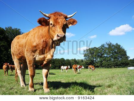 Young Limousin Cow