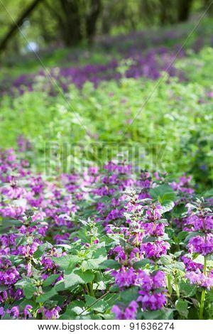 Purple Deadnettle Flowers Growing In The Forest
