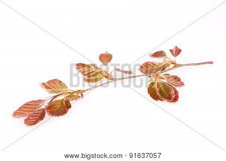 Pink beech branch