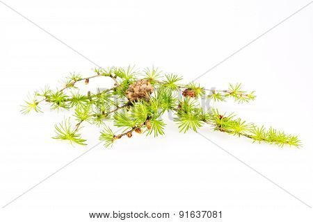 Larch branch isolated